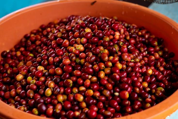 2019_Rwanda_cherries