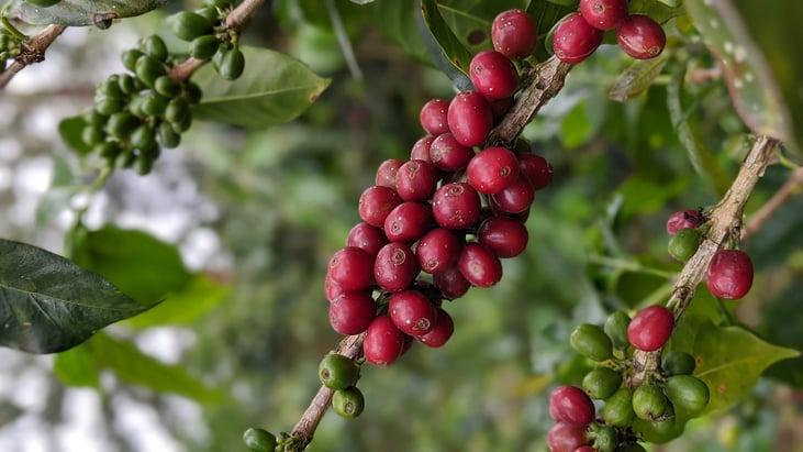 FCC cherries-1