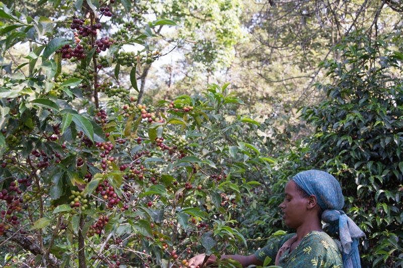 Ethiopia Farm